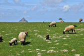 Sheeps in a meadow near the Mont Saint Michel in Normandie — Stock Photo
