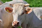 Normandie, cows in meadow in Soligny la Trappe — Stock Photo