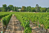 Gironde, the vineyard of Sauternais in summer — Foto Stock