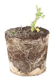 Broken tomato plant roots in soil — Stock Photo