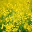 Yellow rape field — Stock Photo #14671759