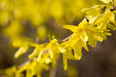 Fleurs jaunes de forsythia — Photo