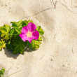 Dog rose on a beach — Stock Photo