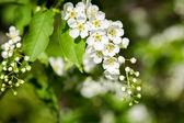 Beautiful spring blossoming bird cherry  tree  — Stock Photo