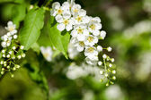Beautiful spring blossoming bird cherry  tree — Stock Photo