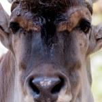 Antilope Alcina - taurotragus oryx — Stock Photo #48366207