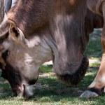 Antilope Alcina - taurotragus oryx — Stock Photo #48366261