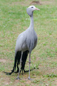 Blue crane standing — Stock Photo