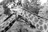 Giraffe two head and neck BW — Stock Photo