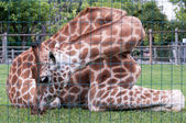 Giraffe  in captivity behind the grid — Stock Photo