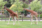 Giraffe two in captivity in a zoo — Stock Photo