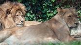 ライオンと雌ライオン休息 — ストック写真