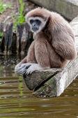 Lar Gibbon, or a white handed gibbon thinking — Stock Photo