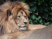 Lion resting — Stock Photo