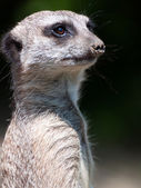Suricate portrait — Stock Photo