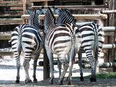 Three Zebra di Grant in the zoo — Stock Photo