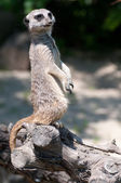 Suricate standing on an old tree — Stock Photo