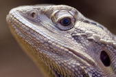 Bearded dragon closeup head watching you — Stock Photo