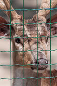 Chital in captivity behind the grid - Portrait — Stock Photo