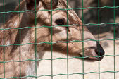 Chital in captivity behind the grid — Stock Photo