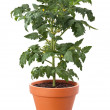 Tomato Plant in a Pot isolated — Stock Photo