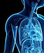 Male x-ray respiratory system artwork — Stock Photo