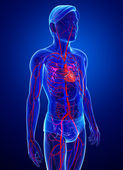 Male circulatory system — Stock Photo