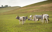 The hungarian gray cattle. — Foto Stock