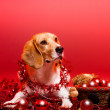 Christmas beagle. — Foto Stock