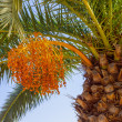 Stock Photo: One date palm