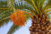 One date palm — Stock Photo