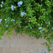 Stone wall and green plants with light blue flowers — Foto de Stock