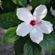 White hibiscus Flower — Photo