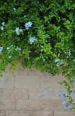 Stone wall and green plants with light blue flowers — Stock Photo