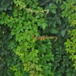 Green leaves wall background — 图库照片