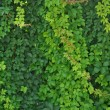Green leaves wall background — Stock Photo #18644975