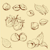 Set of highly detailed hand drawn hazelnuts — Stock Vector