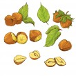 Set of highly detailed hand drawn hazelnuts isolated on white ba — Stock vektor
