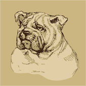 Bulldog head - hand drawn illustration -sketch in vintage style — Stock Vector