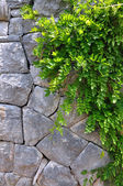 Old Stone wall and Green creeper plant - vertical picture. — Stock Photo