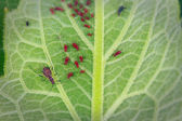 Aphids on cup plant leaf — Stock Photo
