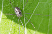 Harvestman on cup plant — Stock Photo
