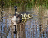 Goslings — Stock Photo