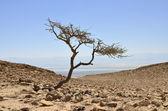 Alone acacia tree in Judea desert, Israel — Stock Photo
