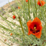 Red Poppy spring blossom. — Stock Photo #45235209