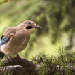 Jay bird on twig — Stock Photo #27930197