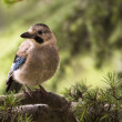 Jay bird on twig — Stock Photo #27930241