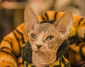 Cat's exhibition. Sphinx cat — Foto Stock