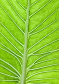 Large Leaf — Stock Photo