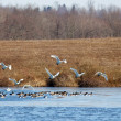 Tundra Swans and Canadian Geese — Stock Photo